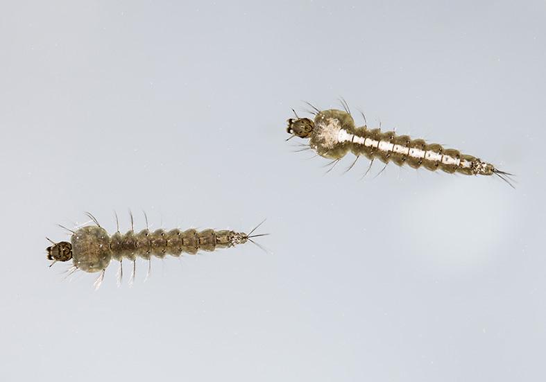 Anopheles cf. maculipennis - Larve - Fam. Culicidae - aquatische Dipteren-Larven