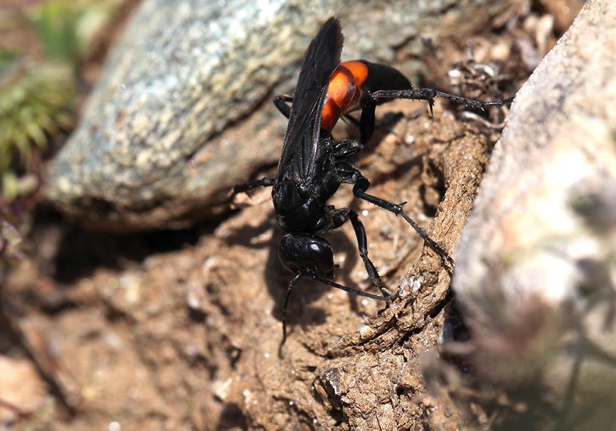 Anoplius viaticus - Frühlings-Wegwespe - beim Verschließen des Deckels einer Falltürspinne (Andros) - Pompilidae - Wegwespen - spider wasps