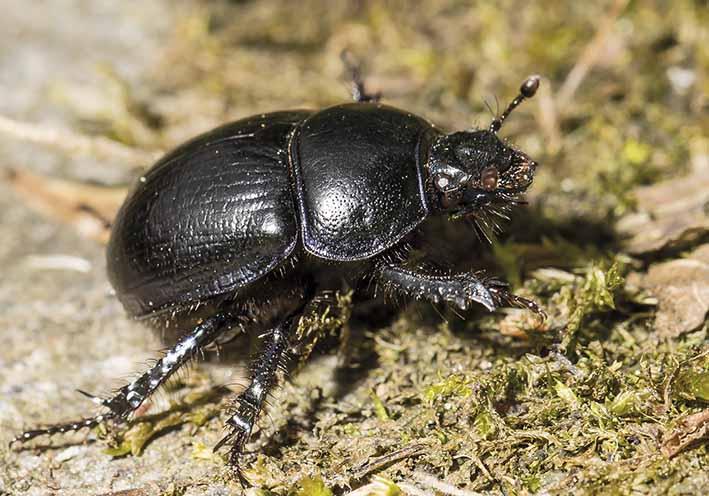 -  - Scarabaeoidea - Blatthornkäfer - scarab beetles