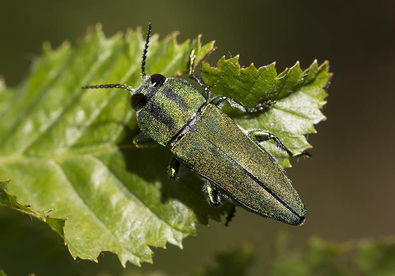 Anthaxia hungarica (male)  - Ungarischer Prachtkäfer - Fam. Buprestidae  (Prachtkäfer)  -   Zagori (Griechenland) - Weitere Käferfamilien - other beetle families
