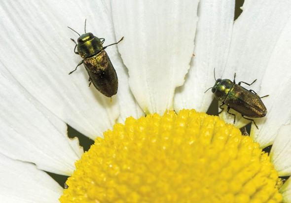 Anthaxia-podolica - Bunter Eschen-Prachtkäfer -  - Buprestidae - Prachtkäfer -  jewel beetles