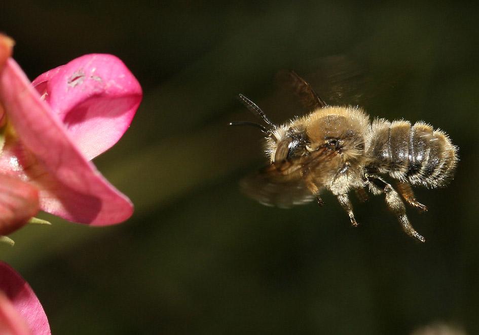 Anthidium byssinum - Wollbiene -  - Apidae - Megachilinae - Bienen - bees