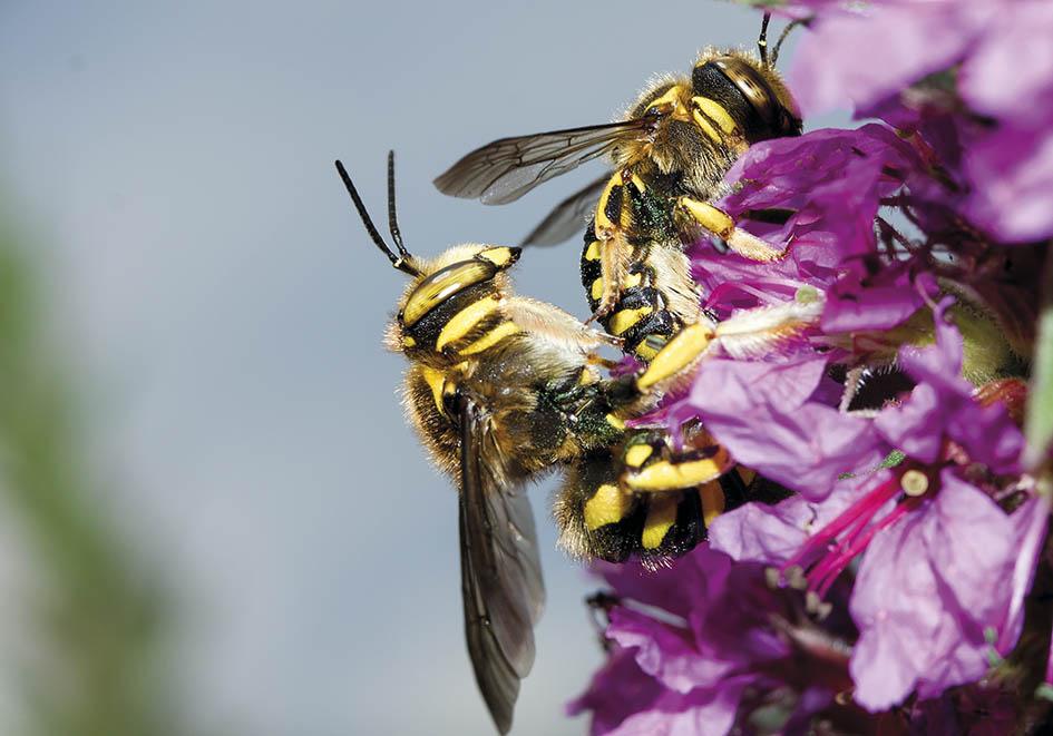 Anthidium florentinum  - Wollbiene - Kopula - Apidae - Megachilinae - Bienen - bees