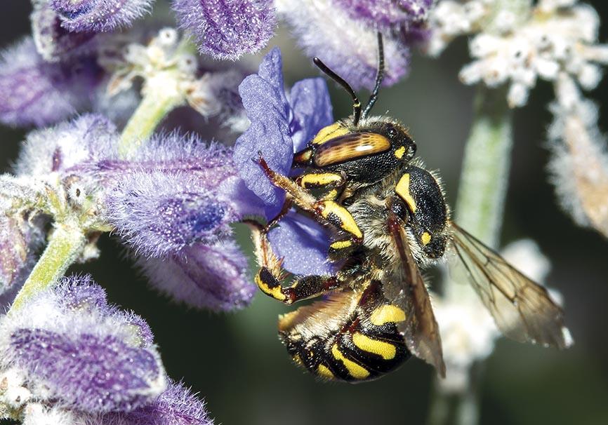 Anthidium florentinum - Wollbiene - Perovskia abrotanoides - Apidae - Megachilinae - Bienen - bees