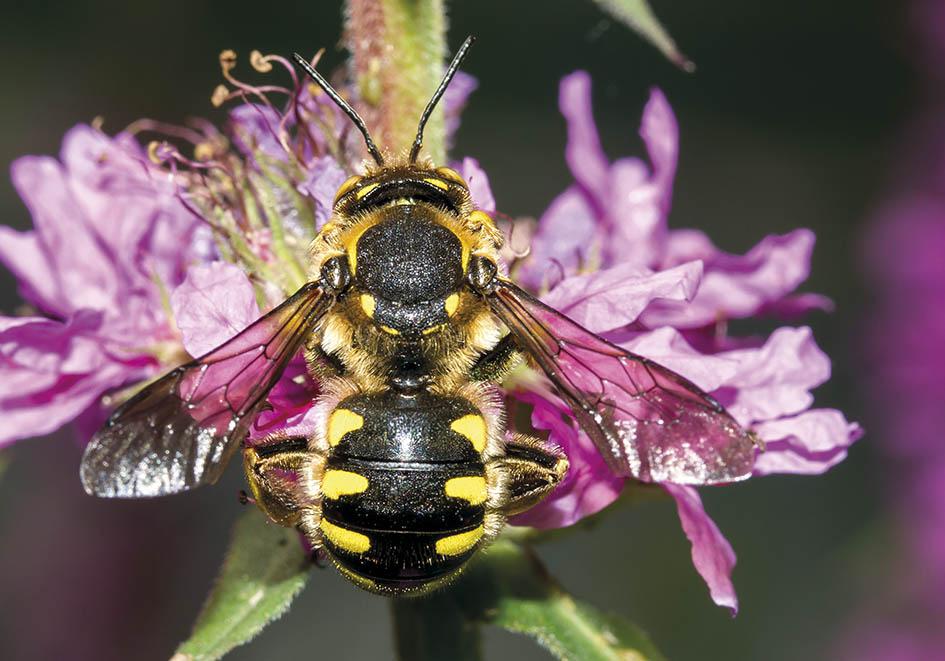 Anthidium florentinum - (male) - Wollbiene - Lythrum sp - Apidae - Megachilinae - Bienen - bees