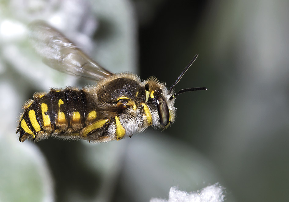 Anthidium manicatum (male) - Große Wollbiene -  - Apidae - Megachilinae - Bienen - bees