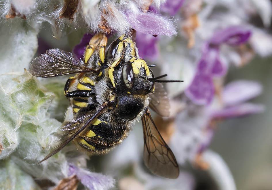 Anthidium manicatum  - Große Wollbiene - Kopula - Apidae - Megachilinae - Bienen - bees
