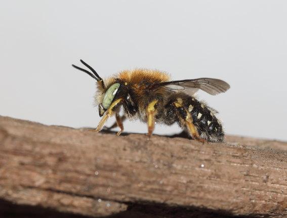 Anthidium punctatum - Weißfleckige Wollbiene -  - Apiformes - Megachilidae - Bienen - bees