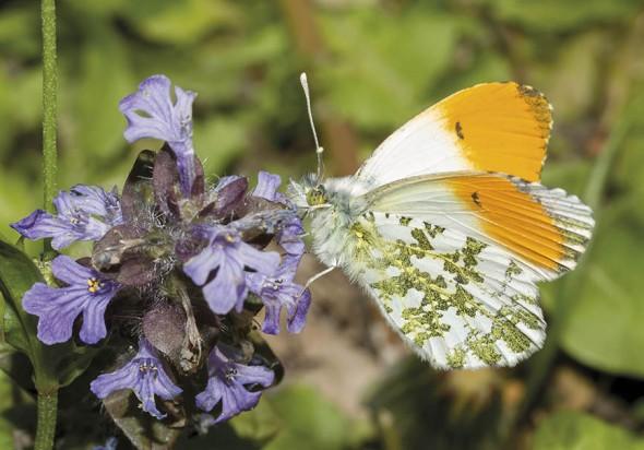 Anthocharis cardamines - Aurorafalter -  - Pieridae - Weißlinge - whites