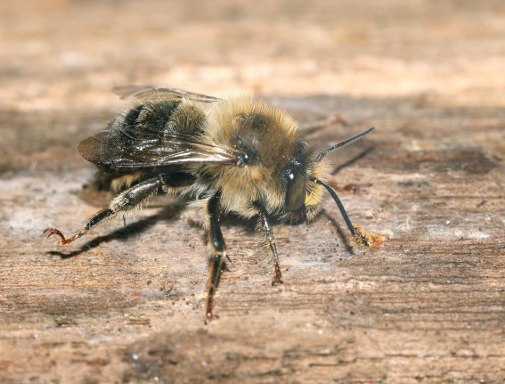 Anthophora furcata - Wald-Pelzbiene -  - Apiformes - Apidae - Bienen - Bees