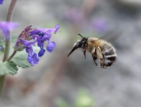 Anthophora plumipes - Frühlings-Pelzbiene - Weibchen female - Apiformes - Apidae - Bienen - Bees