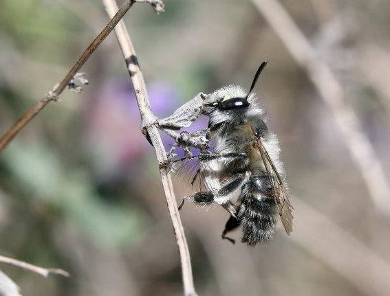 Anthophora plumipes - Frühlings-Pelzbiene - Männchen male - Apiformes - Apidae - Bienen - Bees