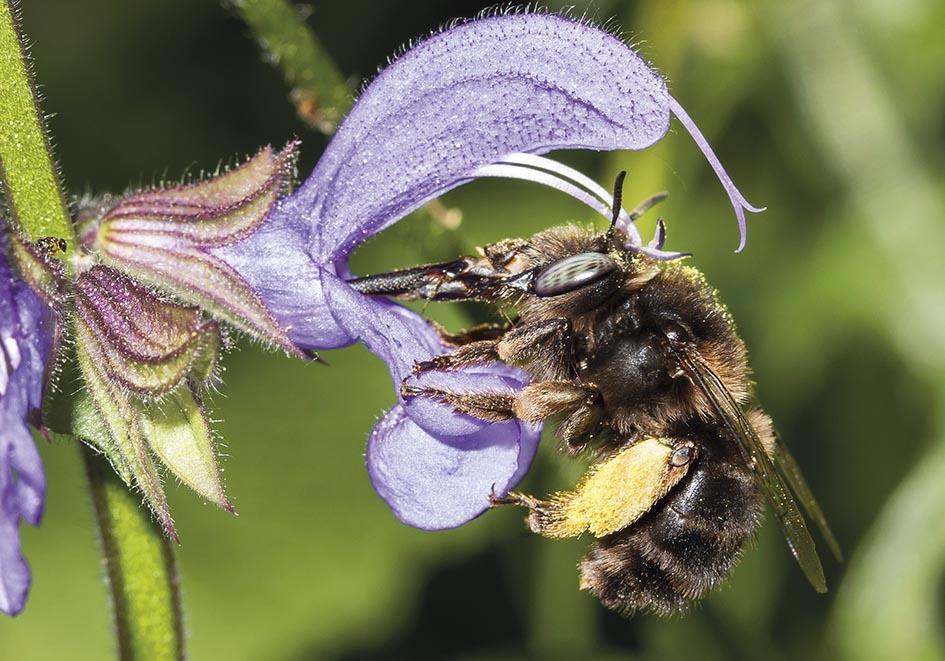 Anthophora retusa - Rotbürstige Pelzbiene - Salvia pratensis - Apiformes - Apidae - Bienen - Bees