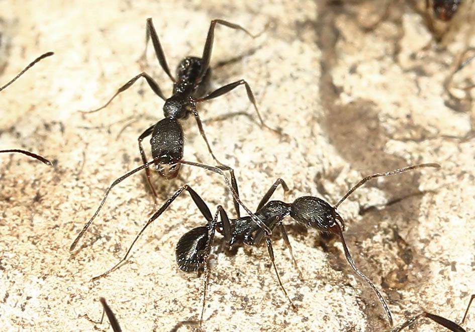 Aphaenogaster sp. - Korfu - Formicidae - Ameisen - Ants
