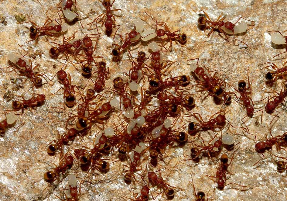 Aphaenogaster festae - Samos - Formicidae - Ameisen - Ants