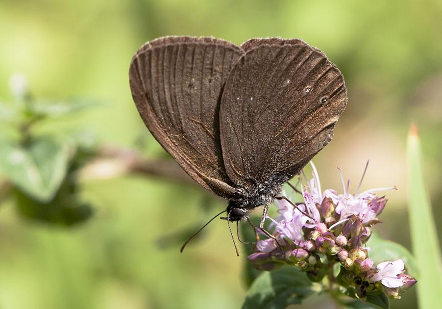 Aphantopus hyperantus - Brauner Waldvogel -  - Nymphalidae - Edelfalter - brush-footed butterflies