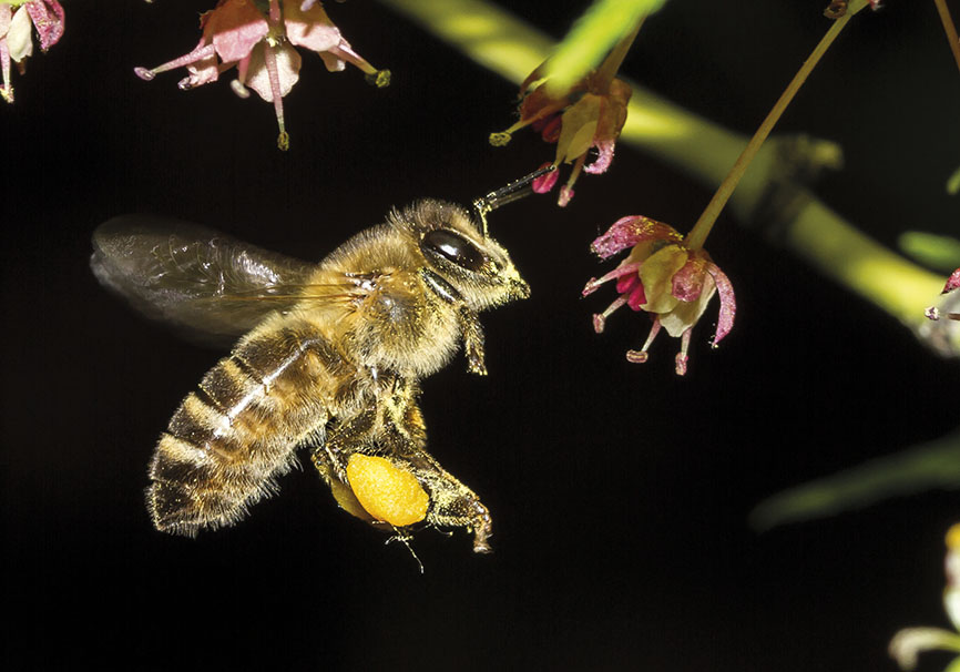 Apis mellifera -  - Apidae - Apinae - Bienen - Bees
