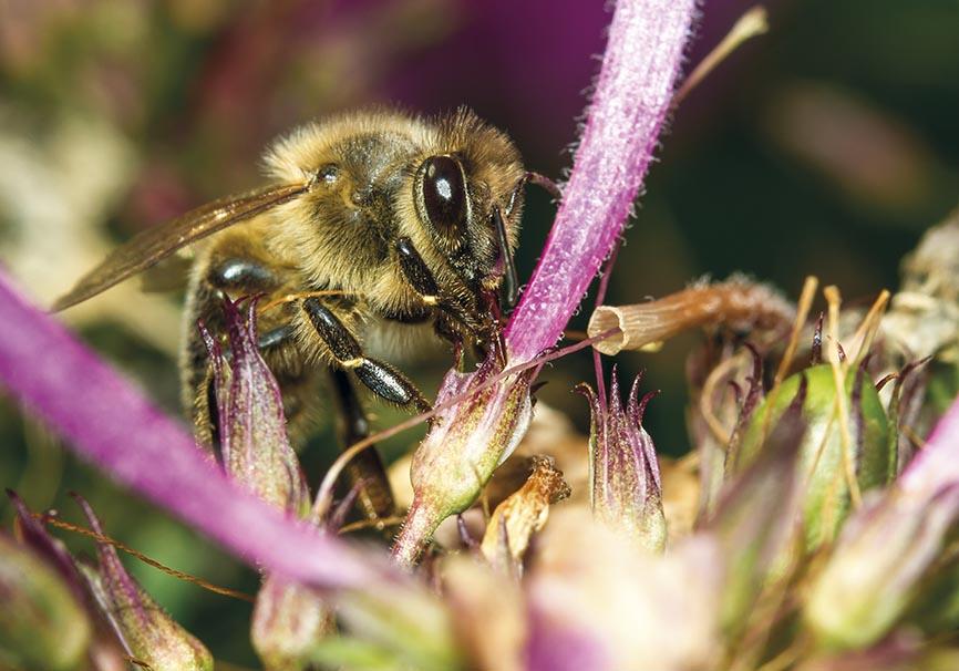 Apis mellifera -  - Honigbiene - Nektarraub - Phlox amplifolia - Apidae - Apinae - Bienen - Bees