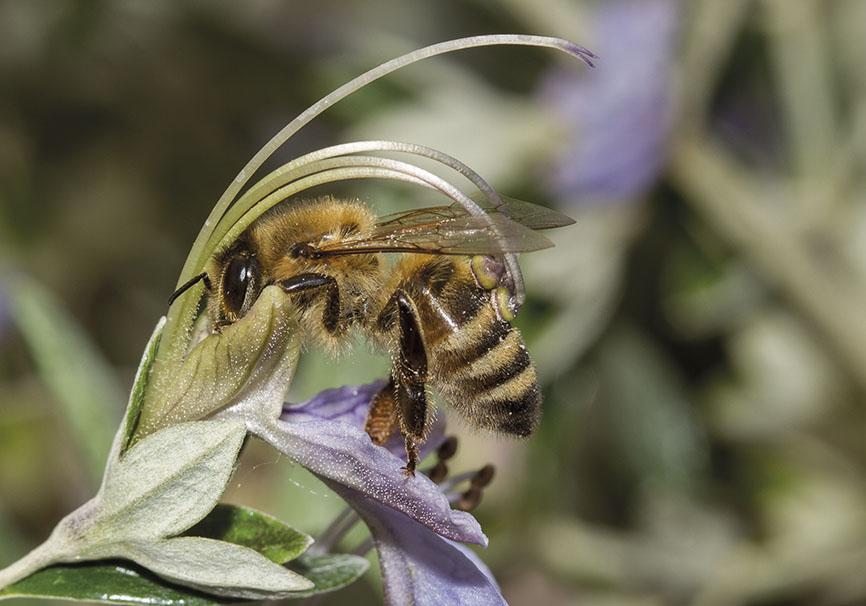 Apis mellifera - Honigbiene - Teucrium fruticans - Apiformes - Apidae - Bienen - Bees