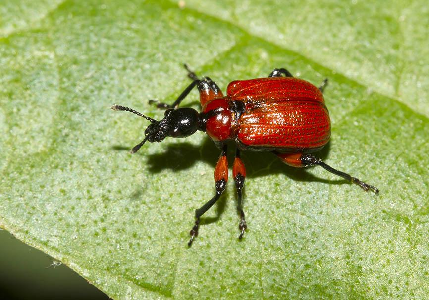 Apoderus coryli - Haselblattroller - Zagori - Epiros - Curculionidae - Rüsselkäfer - weevils