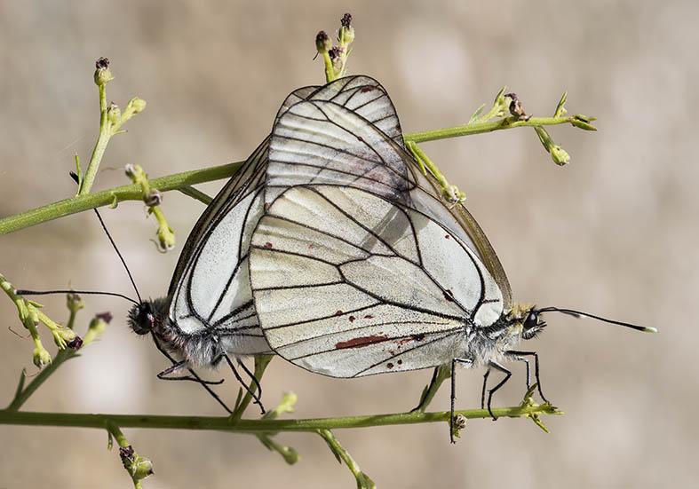 Aporia crataegi   -  Baumweißling - Zagori (Griechenland) - Pieridae - Weißlinge - whites