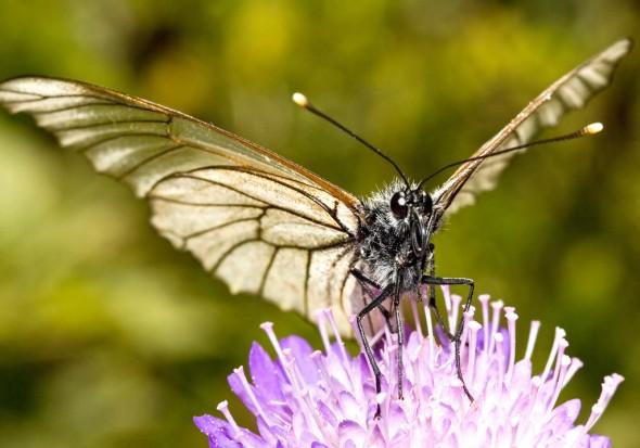 Aporia crataegi - Baumweißling -  - Pieridae - Weißlinge - whites