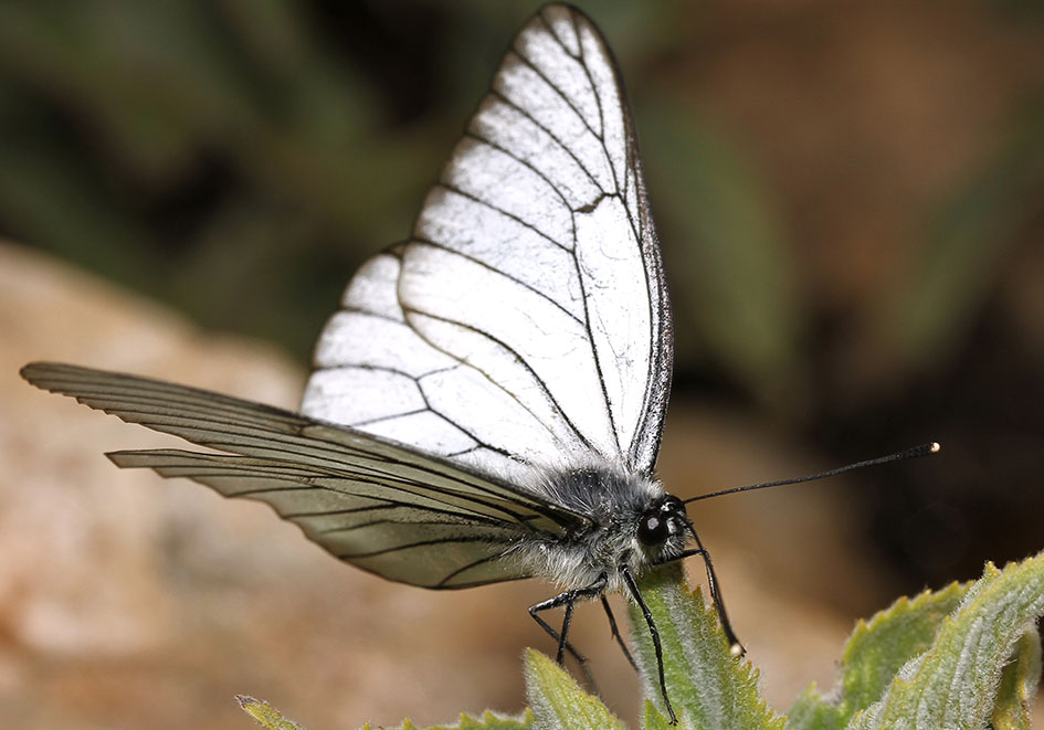 Aporia crataegi - Baumweissling - Samos - Pieridae - Weißlinge - whites