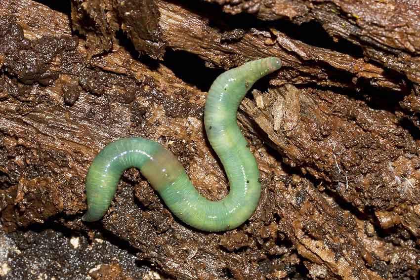 Aporrectodea smaragdina - Smaragdgrüner Regenwurm -  - Lumbricidae - Regenwürmer - earthworms