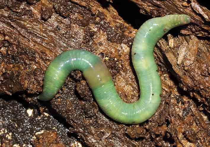 Aporrectodea smaragdina  -  Smaragdgrüner Regenwurm -  - Clitellata - Gürtelwürmer - clitellates