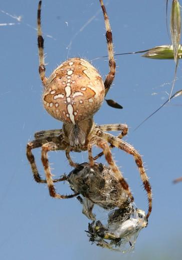 Araneus diadematus - Gartenkreuzspinne - Fam.  Araneidae - Radnetzspinnen - Araneae - Webspinnen - orb-weaver spiders