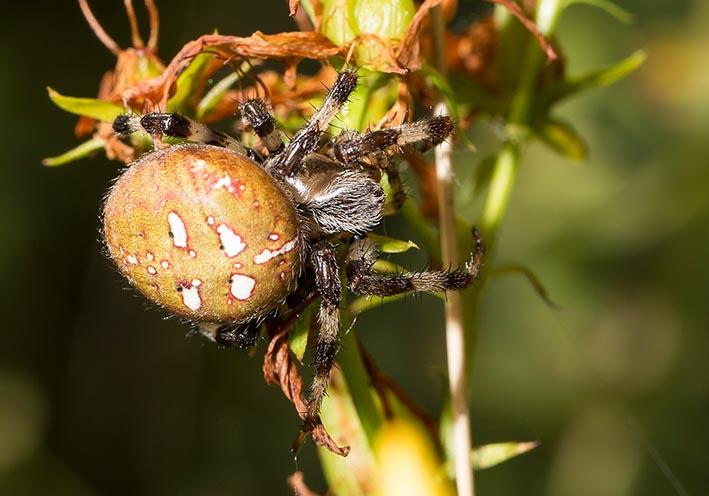 Araneus quadratus  - Vierfleck-Kreuzspinne -  - Araneae - Webspinnen - orb-weaver spiders