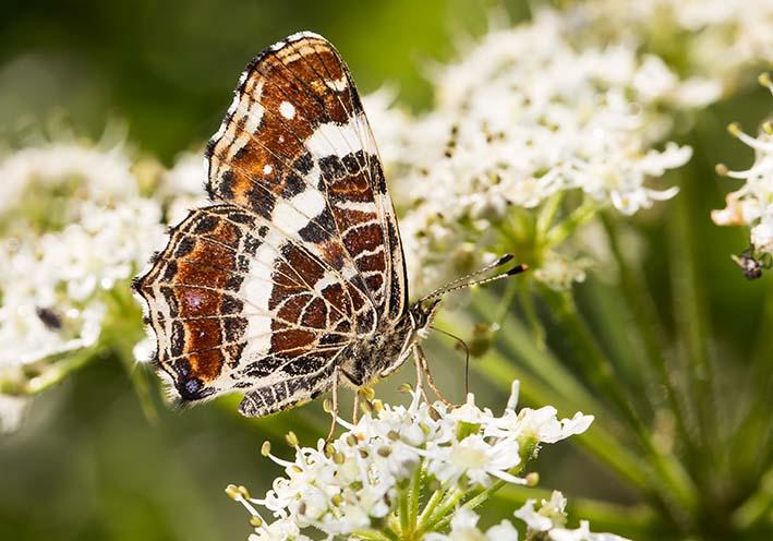 Araschnia levana - Landkärtchen -  - Nymphalidae - Edelfalter - brush-footed butterflies