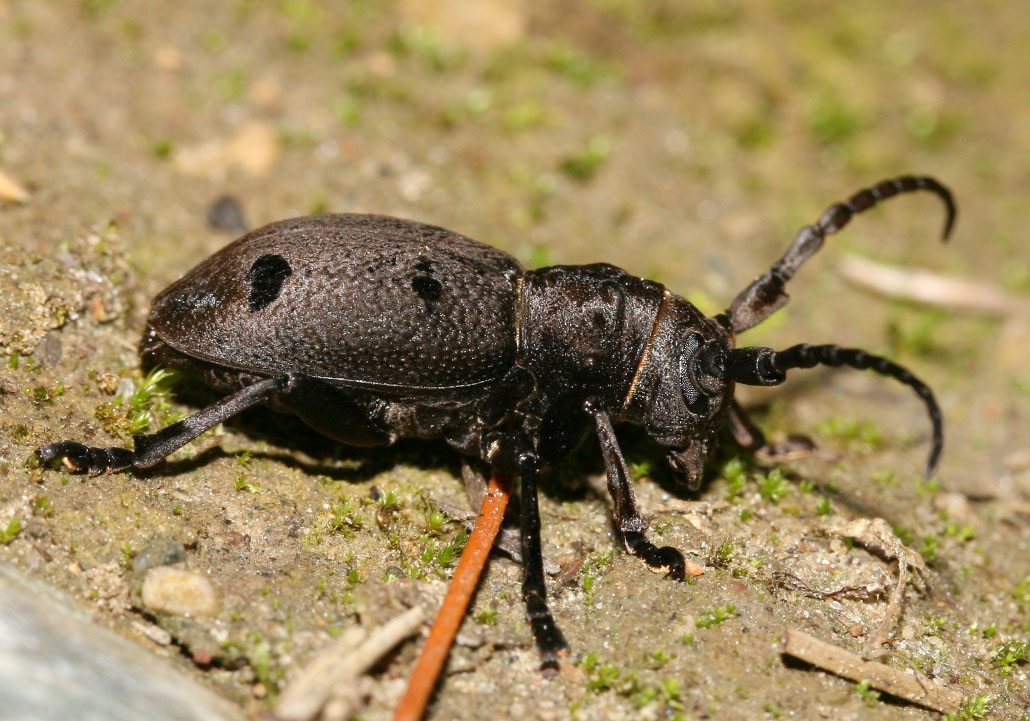 Morimus asper funereus - Trauerbock - UFam. Lamiinae - Cerambycidae - Bockkäfer - long-horned beetles
