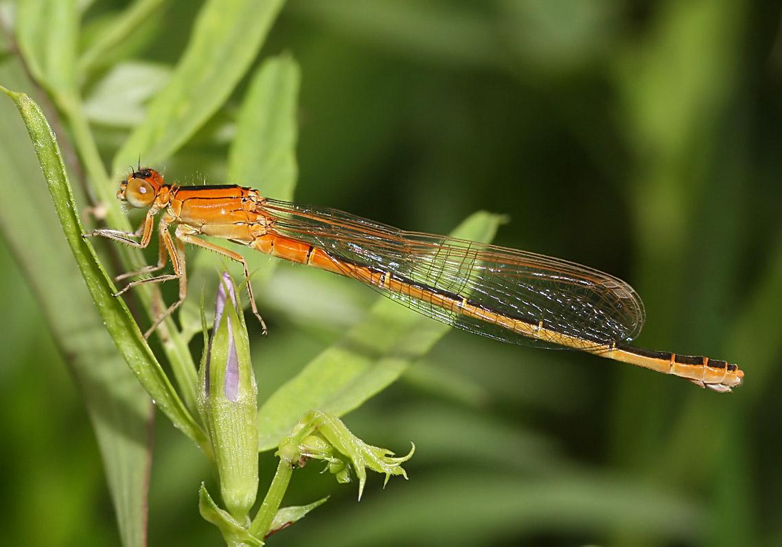 Ischnura-pumilio - Kleine-Pechlibelle (junges Weibchen) - Fam. Coenagrionidae - Schlanklibellen - Zygoptera - Kleinlibellen - damselflies