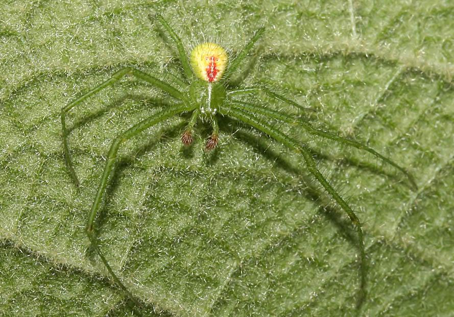 Heriaeus sp.  (Krabbenspinne) - Fam.  Thomisidae - Krabbenspinnen - Araneae - Webspinnen - orb-weaver spiders