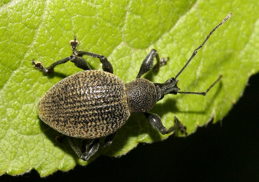 Otiorhynchus sp. -  - Curculionidae - Rüsselkäfer - weevils