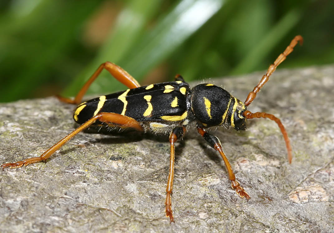 Plagionotus arcuatus - Eichenwidderbock - UFam. Cerambycinae - Cerambycidae - Bockkäfer - long-horned beetles