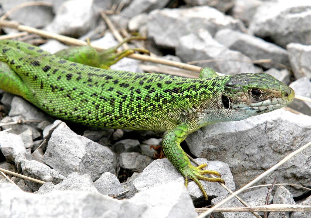 Lacerta bilineata - Westliche Smaragdeidechse -  - Lacertidae - Eidechsen - Lizards