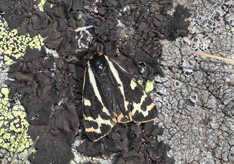 Arctia plantaginis - Wegerichbär -  - Arctiinae - Bärenspinner