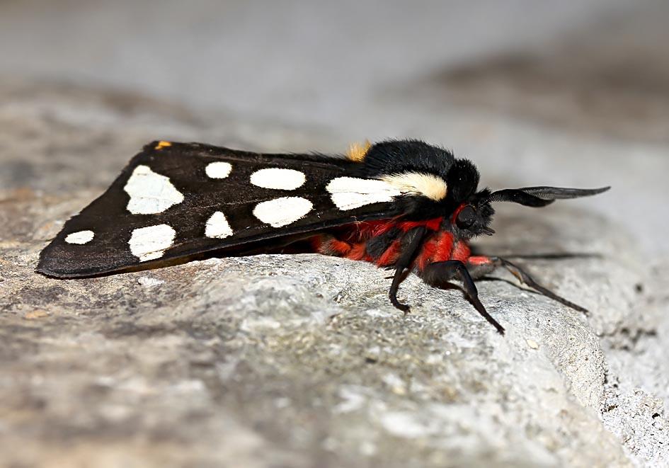 Arctia villica - Schwarzer Bär - Fam. Erebidae/Arctiinae   -  Toscana - Nachtfalter - moths