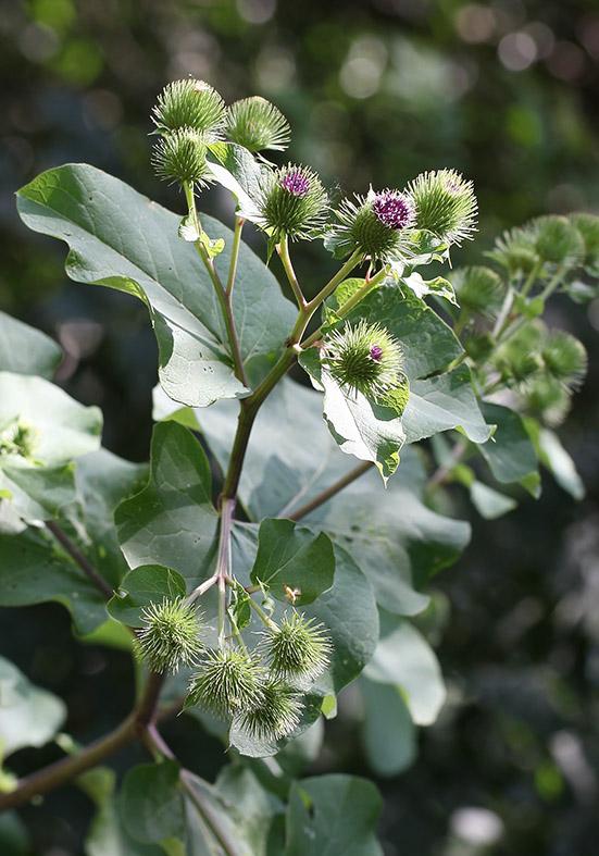 Arctium lappa - Große Klette - Fam. Asteraceae - Wegrand, Ruderalpflanzen - ruderal species