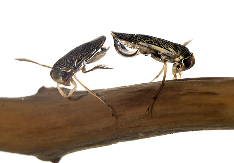 Arctocorisa carinata - Ruderwanze - Fam. Corixidae  Ruderwanzen - Heteroptera - Wanzen - true bugs