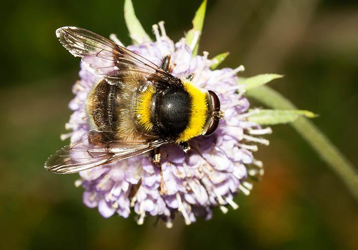 Arctophila bombiformis Hummel-Gebirgsschwebfliege - Fam. Syrphidae - Schwebfliegen - Brachycera (Fliegenartige) - Aschiza