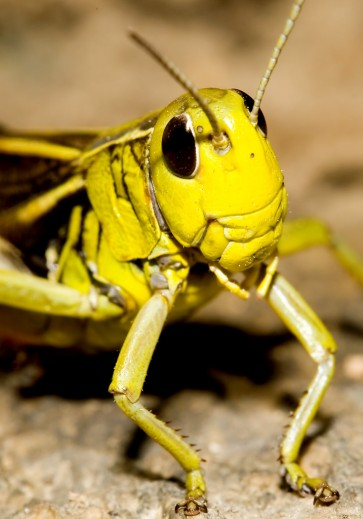 Arcyptera fusca - Große Höckerschrecke - UFam. Gomphocerinae - Acrididae - Feldheuschrecken - grasshoppers
