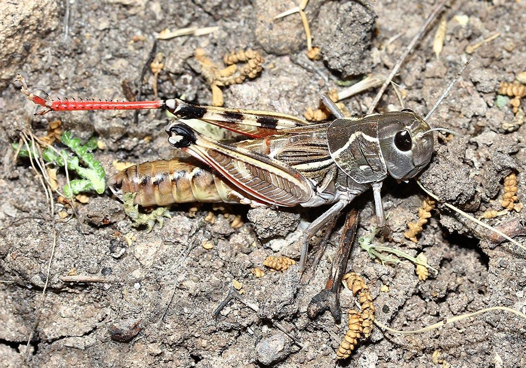 Arcyptera labiata - Fam. Acrididae/Gomphocerinae  -  Lesbos - Caelifera - Kurzfühlerschrecken - grasshoppers