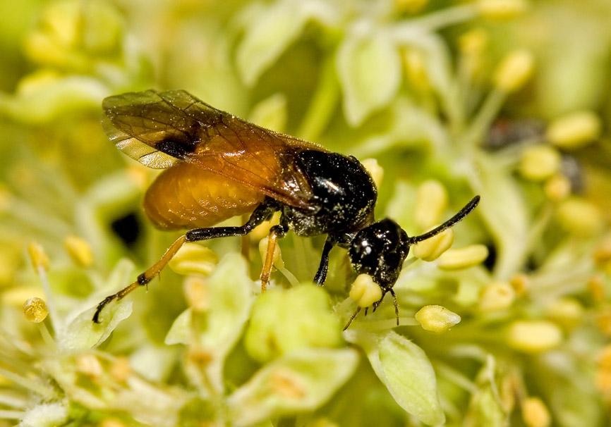 Arge sp. - Fam. Argidae - Bürstenhornblattwespen  - Symphyta - Pflanzenwespen - sawflies