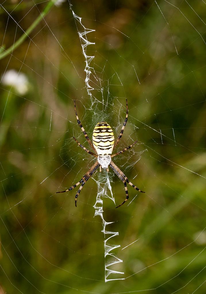 Argiope bruennichi - Wespenspinne - Fam.  Araneidae - Radnetzspinnen - Araneae - Webspinnen - orb-weaver spiders