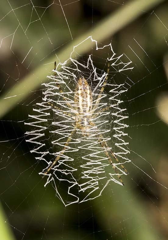 Argiope bruennichi- Wespenspinne - Fam. Araneidae  - Kroatien - Araneae - Webspinnen - orb-weaver spiders