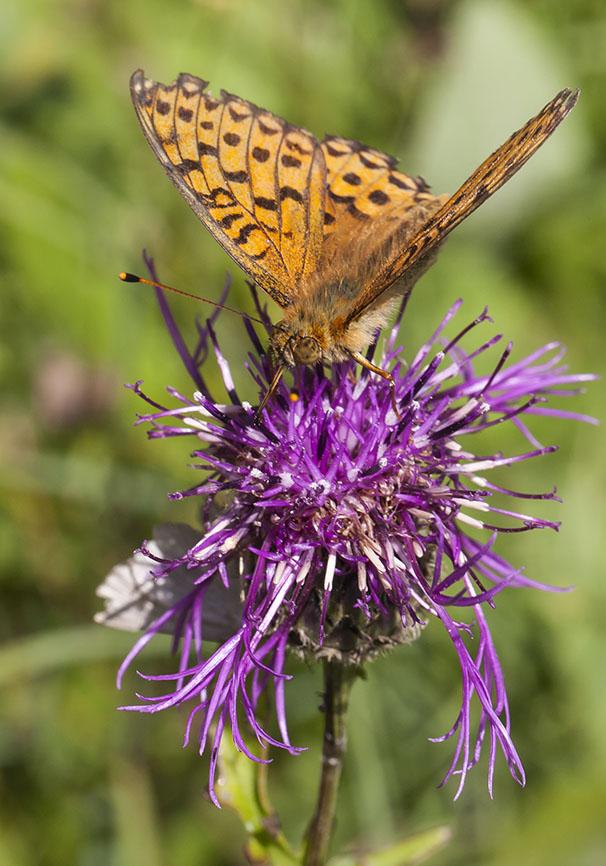 Argynnis aglaja - Großer Perlmuttfalter -  - Nymphalidae - Edelfalter - brush-footed butterflies