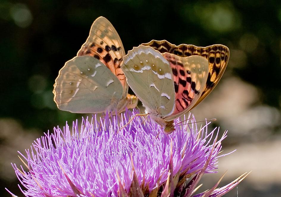 Argynnis pandora-Kardinal - Ikaria - Nymphalidae - Edelfalter - brush-footed butterflies